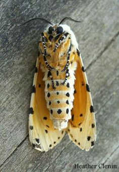 http://www.butterfliesandmoths.org/sites/default/files/imagecache/gallery_for_colorbox/species_images/salt-marsh-moth_acrea-moth_estigmene-acrea.jpg