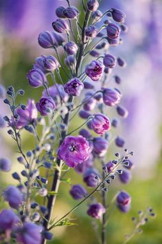 Delicious Delphiniums - Clare West Photography