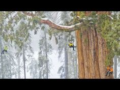 Giant Tree: Sequoia in a Snowstorm... I want to see this some day