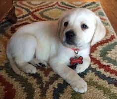 Sullivan the Labrador Retriever puppy - so cute!