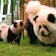 Chow-Chow with Panda markings! I DIE