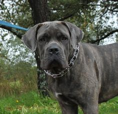 Handsome #Italian #Mastiff