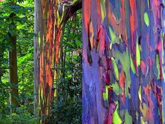 Rainbow eucalyptus groves, Mindanao, Philippines Though the outer bark of the rainbow eucalyptus is a brownish-purple, it flakes away to reveal the green inner bark, which matures into blue, then orange, then purple and maroon. This occurs over the whole of the tree, creating a rainbow-like appearance.