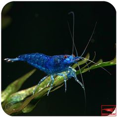 Blue Fairy Shrimp