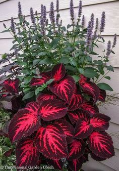 Easy To Grow Houseplants Clean the Air Coleus Ingswood Torch Coleus Need Very Bright Light For Leaves To Be This Colorful. Outdoor Plants, Outdoor Gardens, Backyard Plants, Outdoor Shade, Plants Indoor, Lawn And Garden, Garden Pots, Bonsai Garden, Box Garden