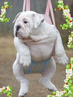 Baby #Bulldog                                                                                                                                                                                 More