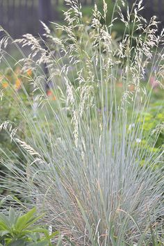 Helictotrichon sempervirens 'Pendulum' - add grasses for texture in the garden