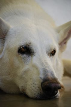 White German Shepherd like the first dog I had when I was little (actually it was my fathers dog) ___ Dogs Lover? Visit our website now! Beautiful Dogs, Animals Beautiful, Cute Animals, German Shepherd Puppies, Australian Shepherd, German Shepherds, Shetland Sheepdog, I Love Dogs, Cute Dogs