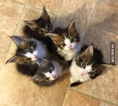Baby Maine Coons