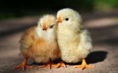 Funny Animal Pictures - View our collection of cute and funny pet videos and pics. New funny animal pictures and videos submitted daily. Cute Chickens, Baby Chickens, Chickens And Roosters, Backyard Chickens, Vida Animal, Mundo Animal, Cute Animal Videos, Cute Animal Pictures, Cute Baby Animals