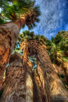 California Fan Palms at the Thousand Palms Oasis in the Coachella Valley Preserve, California.