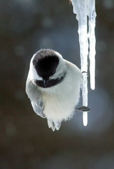 Chickadee perched to an icicle.