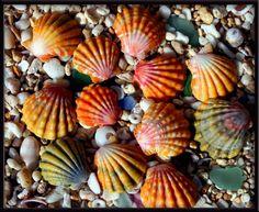 Such pretty Sunrise shells!