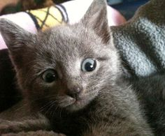 cute rescue russian blue kitten