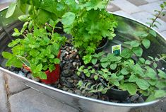 Build an herb garden in a galvanized tub