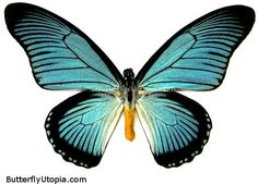Great Blue Zalmoxis (Papilio zalmoxis) Papilio zalmoxis
