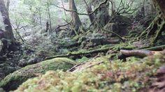 苔むすの森[yakushima]