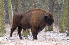 bisonte europeo - Buscar con Google