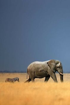 This unusual friendship between a elephand and zebra would make a wonderful children's book fable!