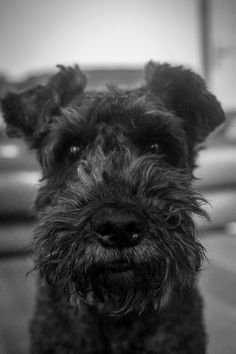 Billie the Kerry Blue Terrier Terrier Breeds, Terrier Dogs, Dog Breeds, Terriers, Schnauzer Mix, Standard Schnauzer, Low Shedding Dogs, Black Russian Terrier, Dogs And Puppies