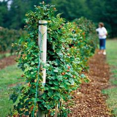 Berry patch Berry Trellis donno but there should be berries jam and cobblers and purple tongues all very important Links to a trellis tutorial aiming to maximize product. Fruit Garden, Edible Garden, Herbs Garden, Farm Gardens, Outdoor Gardens, Blackberry Trellis, Blackberry Plants, Best Blackberry, Vegetable Gardening
