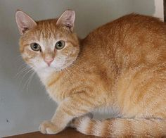 Skittles-an-orange-special-needs-cat-in-Virginia