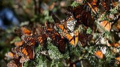 In an average year, 350 million monarch butterflies are seen wintering in Mexico. This winter, there were only about 60 million – a difference of more than 80 per centThose numbers – the lowest in 20 years of recorded history – have experts wondering if, and how, monarchs can bounce back from this significant decline in their population.