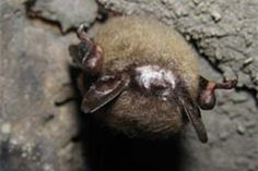 Ninety-five percent of the entire gray bat population hibernates in just eight or nine limestone caves scattered across the southeastern United States. As many as 250,000 bats winter in a single location.