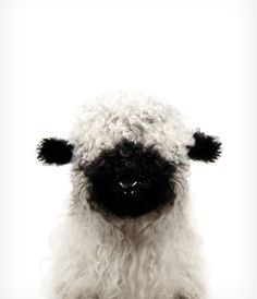 Baby Blacknose Sheep Printable Art Baby animal prints: unique, incredibly detailed baby animal photo illustrations from Jenny Kun, plus more endearing nursery art! Art available exclusively at th Cute Baby Animals, Farm Animals, Animals And Pets, Funny Animals, Animal Babies, Animals Tattoo, Baby Sheep, Cute Sheep, Animal Nursery