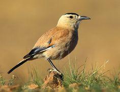 Hendersons Ground Jay (Podoces hendersoni)