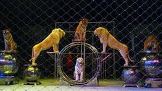 cirkuszi állatok – Google Kereső Fish, Pets, Google, Animals, Animais, Animales, Animaux, Pisces, Animal