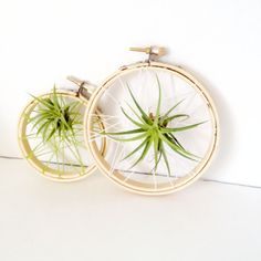 set/2 Caught in a web air plant on embroidery hoop / Tillandsia air plant/ wall decor desk decor-modern minimalist decor- dorm decor