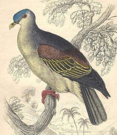 1850s Antique Pigeon Engraving Hand Colored Bird Jardine Naturalist's Library Ornithology Vinago Aromatica by catladycollectibles on Etsy