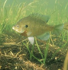 IL State Fish: Bluegill  I caught 100's of these in my childhood...with my cane pole!