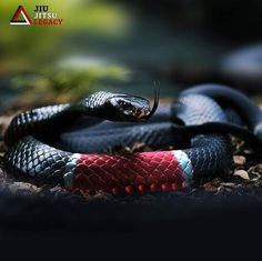 Many people always compare Black Mamba vs King Cobra fight. Black Mamba with aggressive fight mode with King cobra. Serpent Venimeux, Serpent Animal, Beaux Serpents, Mexican Black Kingsnake, Inland Taipan, Black Mamba Snake, Snake Images, Snake Photos, Snake Wallpaper