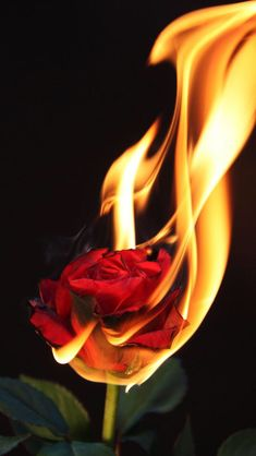 Rose on Fire Red Wallpaper, Tumblr Wallpaper, Flower Wallpaper, Wallpaper Quotes, Beautiful Wallpaper, Burning Flowers, Burning Rose, Rose On Fire, Fire Photography