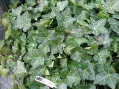 Ivy | hedera helix thorndale ivy.JPG (383340 bytes)