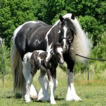 Gypsy Vanner Horse with one day old foal named Picasso.