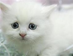 Cute white kitten...such an expressive face