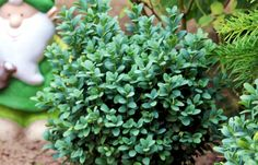 Buxus sempervirens 'Blauer Heinz'. This Hanoverian cultivar is my favourite box, its dwarf, up to 1m x 1m, slow-growing, perfect for low hedging. Foliage pale olive(ish) green when young maturing to a blue green over the winter months. Its superb.