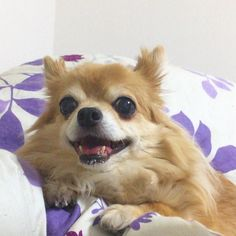 こんな顔されたらかまってしまうじゃないかー  #宵っぱりチワワ  #dekachiwa #chihuahua #dog #チワワ #ふわもこ部 #chihuahuaofinstagram