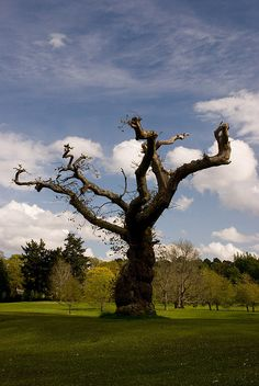 This twisted tree stands in the grounds of Cawdor Castle, the setting for Shakespeare's Macbeth - Scotland