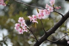 桜とメジロと…雪-sakura #snow #bird