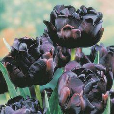 Tulipa 'Black Hero'