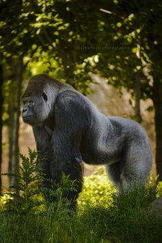 Bokito the Silverback Gorilla