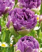 Collection 23 tulipes à fleur de pivoine
