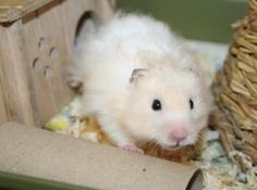 Inky is one very lucky stray Syrian Hamster.  Last Thursday a very surprised gentleman found a very oily Hamster in a catch pit when worki...