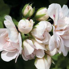 Geranium 'White Pearl Sybil' (Garden Ready) - Perennial & Biennial Plants - Thompson & Morgan