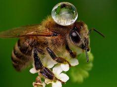 Bee.  Le photographe qatari Agus Sudarmanto a su immortaliser un instant de grâce : une abeille transportant une goutte d'eau sur son thorax alors qu'elle butinait de fleur en fleur. L'abeille, indispensable à la pollinisation de 80% des fleurs, transporte environ 500.000 grains de pollens sur une seule de ses pattes. (CATERS NEWS AGENCY/SIPA)