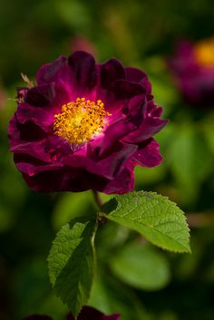 Rosa gallica Violacea  ||  Beautiful Deep Red Rose (fully open)